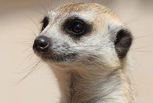Meerkats / by Julie Crews