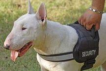 English Bull Terrier / Een ras dat mijn hart gestolen heeft.  Hij ziet er niet uit, maar toch vind ik hem knap. / by Jan Vangeel