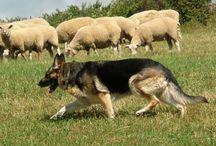 German Shepherd Dogs / by Deborah Browning