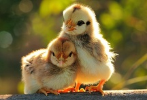 Chickens... I just adore them! / by Jen Kroo