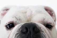 """Bulldogs / """"My sunshine doesn't come from the skies, it comes from the love in my dog's eyes.""""  (Author unknown) / by Shannon Culbert"""