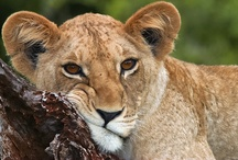Big Cats / by Kimberly Hoblet