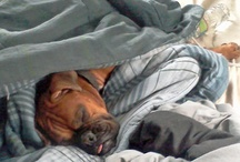 BOXER LOVE / THE SWEETEST AND MOST ENTERTAINING BREED ON THE PLANET / by Victoria-Vicki Owen