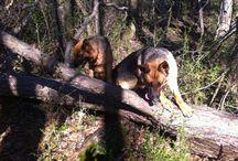 German. Shepard  dogs  World man best friend / by Ferdinand Gonzalez
