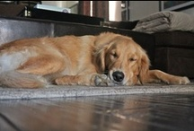Dogs / dogs, golden retrievers, dalmatians / by Tracy Dauterman