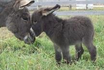 Donkeys and Mules / by judy jefferson