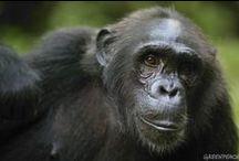 Hábitat del Chimpancé en peligro por un proyecto de palma aceitera / El chimpancé se encuentra en peligro de tener grandes extensiones de su hábitat forestal en Camerún destruida si no se detienen controvertidos planes de una empresa de EE.UU. para establecer una plantación de palma aceitera en la zona. / by Greenpeace Argentina