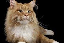 Maine Coon Cats / by Bobby Schaefer Schaef Designs Jewelry.com