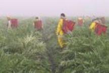 Artichoke Harvest  / Castroville, CA / by Artichoke Club