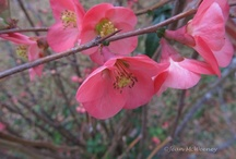 Woody plants for indoor bloom / by Nebraska Statewide Arboretum