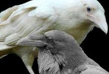 Crows & Ravens / by October Pun'kin