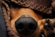 Doxies and Chihuahuas / Man, I have been taught, was made in God's image but the dachshund, I have come to believe, was made in God's spirit.  -Solomon / by Pam Soukup