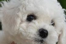 For the love of dogs... / My favorite...Bichons / by Julie Fruth