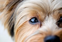 Yorkies / by M. Myers