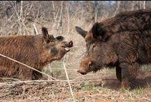 Hog Huntin' / by Country Boy
