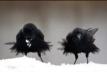 crows ravens etc. / by Sandi Gileo