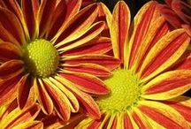 Fall Flowers / Autumn is in the air! Enjoy these pictures of beautiful Fall flowers. From orange roses to sunflowers and daisies, repin your favorites. / by From You Flowers