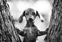 Puppy £ove: Daschunds  / All Daschunds.. / by Belinda Sue