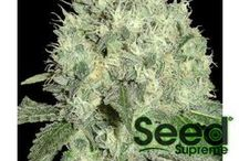 CANNABIS SEEDS / by Seed Supreme