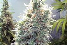 Female Seeds / For over 15 years these female seeds have produced many regular cannabis strains for seed companies. Female Seeds are 100% reliable and are capable of producing large quantities of regular seeds. To buy Female Seeds, visit our site www.seedsupreme.com  / by Seed Supreme