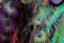"""The """"PEACOCK"""" Collection~ Extrodinaire / This collection is for Arley / by Pamela Armas"""