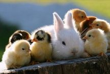 Bunnies, baby ducks & chicks / Thank you for following. Have fun pinning. / by Kelly Tran
