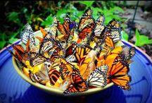 Butterflys / by Anna Hight- Boucier