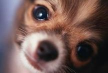 Chihuahuas / by Puppy Names Plus