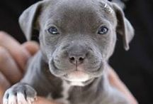 Pit Bulls / by Puppy Names Plus