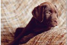Labrador Retrievers / by Puppy Names Plus
