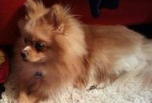 Our Adorable Dog!! / We LOVE our adorable Pomeranian Bentley!!!  / by F.O.G. FAVOR OF GOD