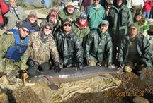 Spectacular Sturgeon / These are the dinosaur fish of Wisconsin.  They have an amazing story and incredible history in the state. #sturgeon2014 / by Wisconsin Department of Natural Resources (DNR)