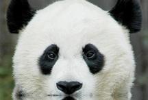 Panda Bears / by Barbara Washburn