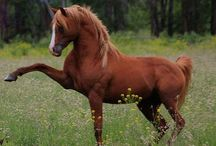 Arabian Horses / The Arabian is a breed of horse that originated on the Arabian Peninsula. With a distinctive head shape and high tail carriage, the Arabian is one of the most easily recognizable horse breeds in the world. / by Holly Pol