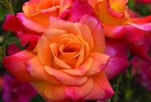 The beauty of roses / by Diane Feitlowitz Katz