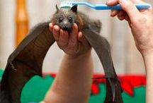 Fascinating Bats! / Beautiful, ugly, scary and fascinating....bats are very complex creatures without which we would be in serious trouble on planet earth!  I just love them! / by Joni Meryhew