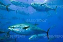"Ocean | 持続可能な漁業 / SUSEA ""Sustainable Seafood"" Campaign  持続可能な漁業を推進する""スシ""キャンペーン / by Greenpeace Japan │ グリーンピース・ジャパン"