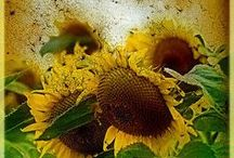 Sunflowers / Everything Sunflowers / by Author Shelly Marie Karg