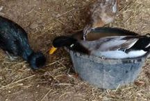 Animal Husbandry * Ducks * / xx Ideas for my quackers xx / by Simply Country