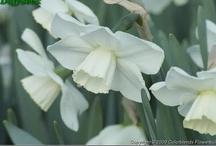 Daffodils / by Charlotte-Daffodil Planter- Germane