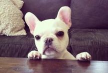 French Bulldogs / All things Frenchie / by Ken Topham