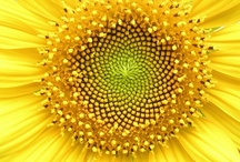 Sunflowers / by Laura Thompson
