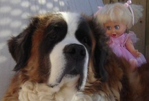 St. Bernard Dog A True Saint ♥ / In loving memory of our St. Bernard 'Beethoven' and his little friend Corona ♥ We miss you both so much!   / by Bailey Puggins The Pug