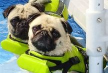 PUGS SWIMMING PUG / Our Pugs Moe-Moe & Bailey Puggins swimming in the pool with their life jackets. Who said a Pug doesn't like the water? Not us! / by Bailey Puggins The Pug