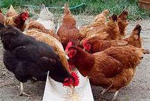 Backyard Chickens / by Danielle Atamian