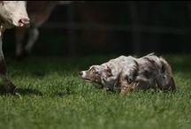 Herding Dogs / All herding dog breeds / by Shea Rini