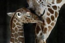 giraffes / by Elaine Cutshaw