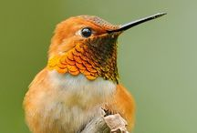 Humming birds  / They are so small! But they are like little jewels of the bird world! / by zoe paladino