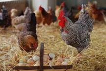 chickens & other poultry / Organization for personal use of links found on Pinterest. I take no credit for anything other people have typed. I only save things I find that I think are nice and organize them here. / by Abigail Nieuwenhuis