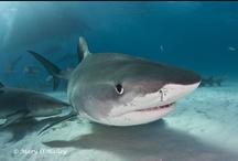 Save the Sharks! / by Shark Savers